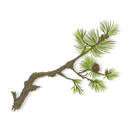 Branch of Christmas tree  mountain Pine branch whit pinecones vector illustration
