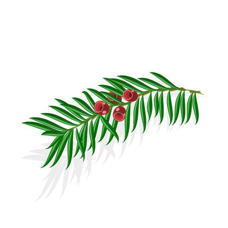 yew: Yew sprigs with red berries isolated on white background vector Illustration