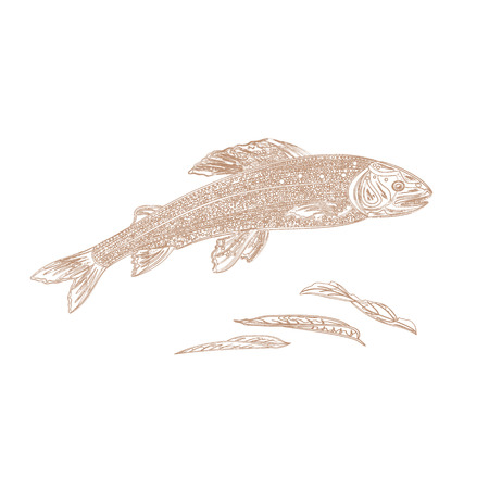 brown trout: Trout salmonidae as vintage engraved vector illustration