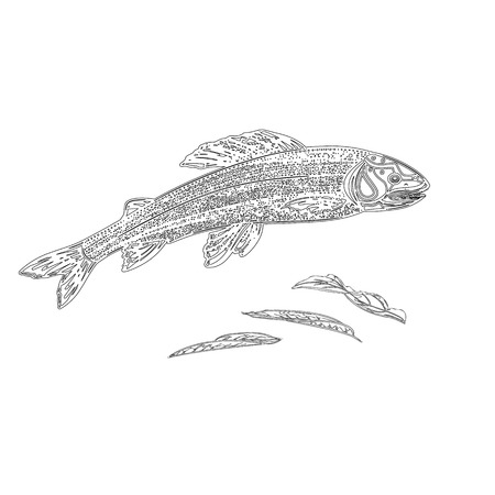Trout salmonidae as vintage engraved black vector illustration