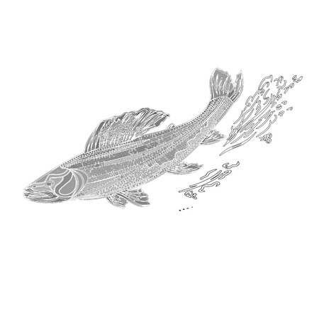 Trout salmonidae as vintage engraved black vector illustration  Illustration