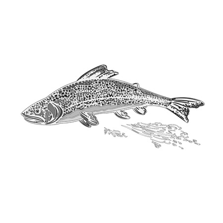 brown trout: Rainbow trout salmonidae as vintage engraved vector illustration