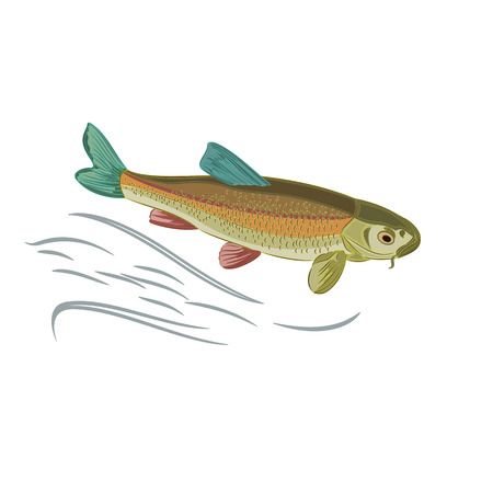 domesticated: Koi carp multicolored domesticated japan fish  vector illustration Illustration