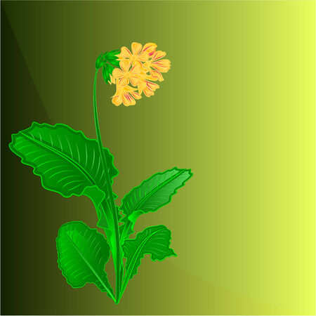 primrose: Primrose spring flower green background place for text vector
