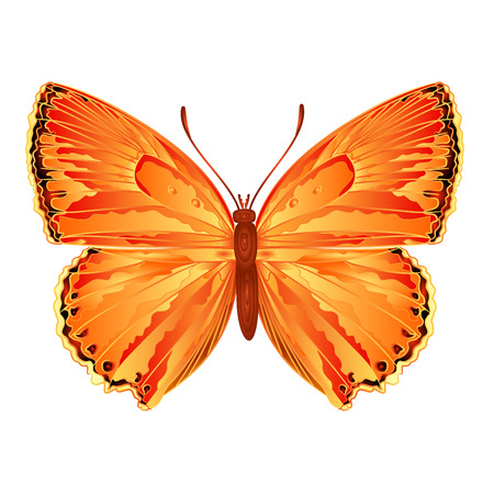 lycaena: Butterfly Lycaena virgaureae  meadow butterfly vector illustration Illustration
