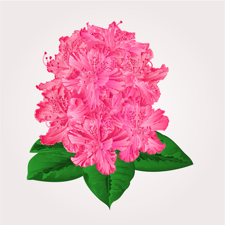 Rhododendron in bloom pink flower shrub Mountain vector illustration Stock Illustratie