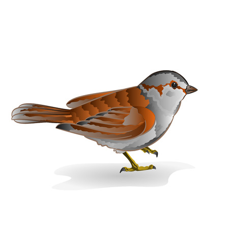 sparrow: Little bird cub Sparrow Passer domesticus vector illustration