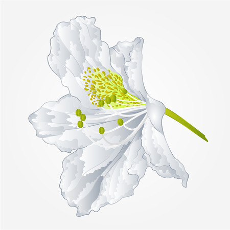 azalea: Flower simple white rhododendron shrub Mountain spring vector illustration Illustration