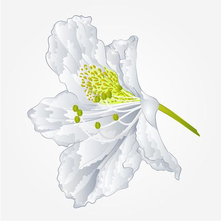 shrub: Flower simple white rhododendron shrub Mountain spring vector illustration Illustration