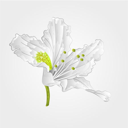 azalea: Mountain rhododendron shrub spring white flower vector illustration