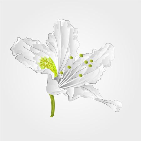shrub: Mountain rhododendron shrub spring white flower vector illustration