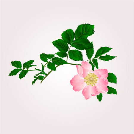 Eglantine twig with leaves and flower of wild rose vector illustration