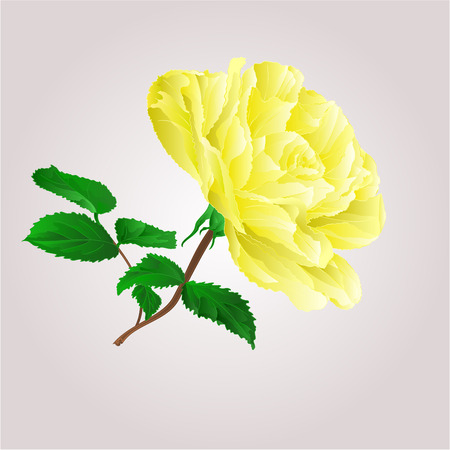 centifolia: Yellow rose stem with leaves and blossoms vector illustration