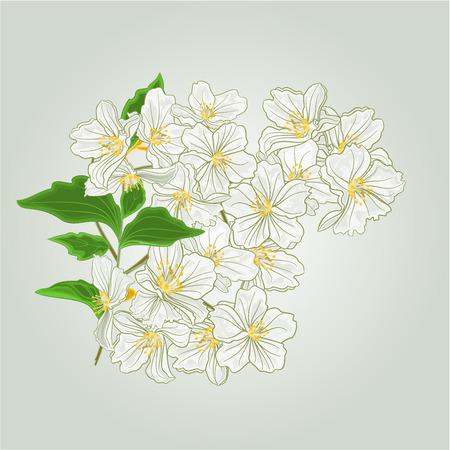 Ramita de flores de jazmín de ilustración vectorial de primavera Foto de archivo - 41068167