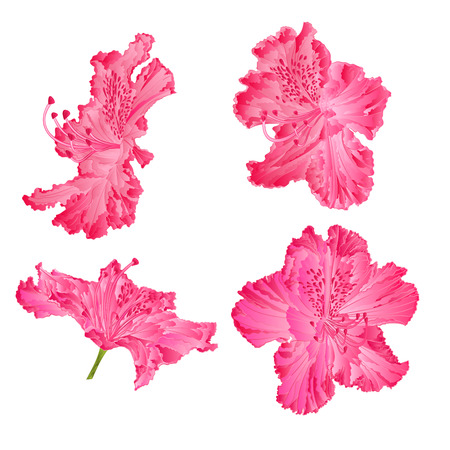 azalea: Blossoms pink rhododendron shrub Mountain vector illustration Illustration