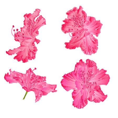 shrub: Blossoms pink rhododendron shrub Mountain vector illustration Illustration