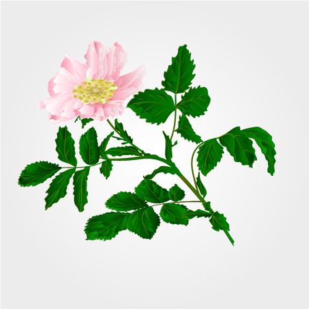 eglantine: Flower Eglantine twig with leaves and flower of wild rose vector illustration Illustration