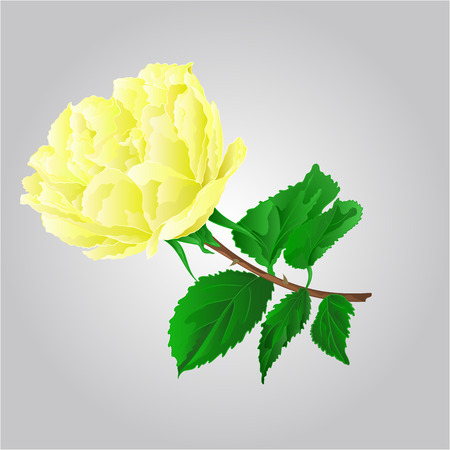 freshens: Rose yellow flower stem with leaves and blossoms vector illustration