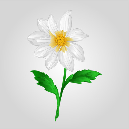 White Dahlia summer flower stem Vector illustration Illustration