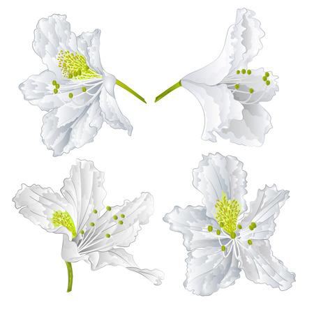 azal�e: Blossoms White Mountain rhododendron arbuste illustration vectorielle Illustration