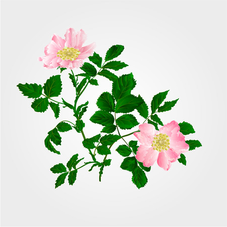 Eglantine twig with leaves and flowers of wild rose vector illustration