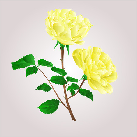 freshens: Twig yellow roses stem with leaves and blossoms vector illustration