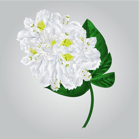 shrub: Twig white rhododendron mountain shrub vector illustration