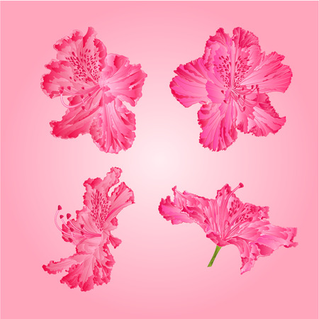shrub: Pink rhododendrons flower Mountain shrub vector illustration