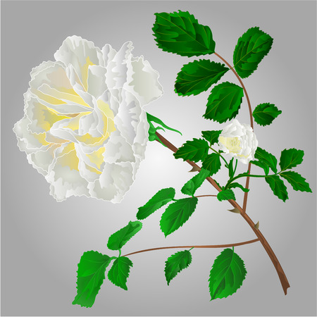 freshens: Rose white flower stem with leaves and blossoms vector illustration