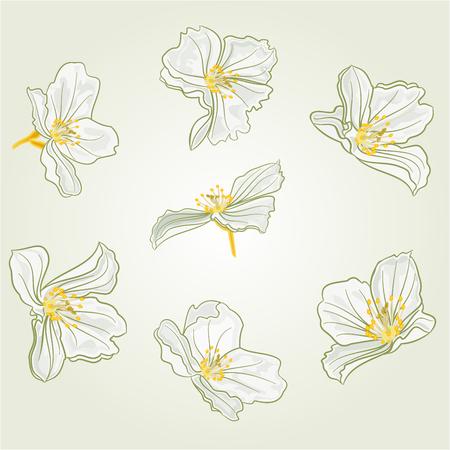 budding: Jasmine flowers isolated on a white background vector illustration Illustration