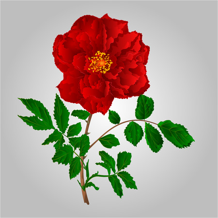 freshens: Rose red flower stem with leaves and blossoms vector illustration
