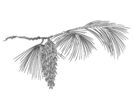 Pijnboomtak Eastern White met dennenappel als gravure Vector illustratie