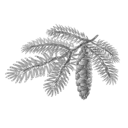 Spruce branch with cone as vintage engraving Vector illustration Illustration
