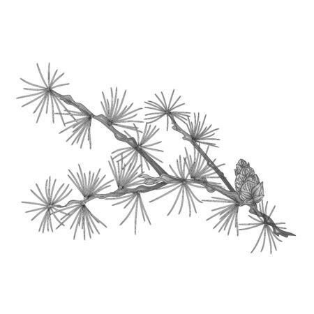 larch: Larch tamarack branch as vintage engraving vector illustration