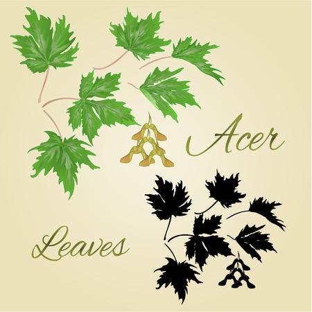 acer: Acer-Maple  green leaves summer theme vector illustration