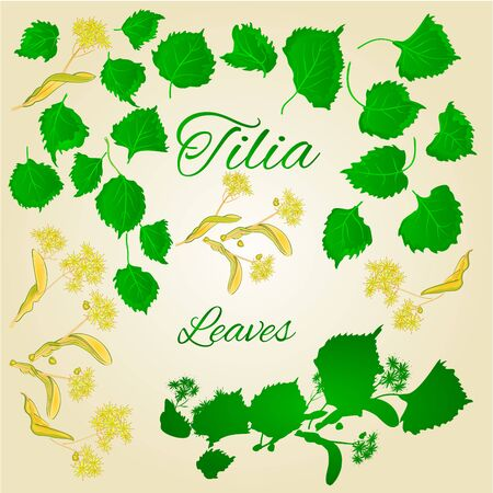 tilia cordata: Tilia-Linden leaves with Linden flowers vector illustration Illustration