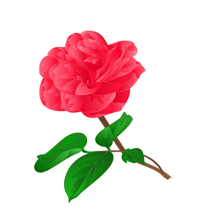 camellia: Camellia Japonica on a white background vektor illustration Illustration