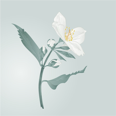 green flowers: Twig jasmine flower and buds vector illustration