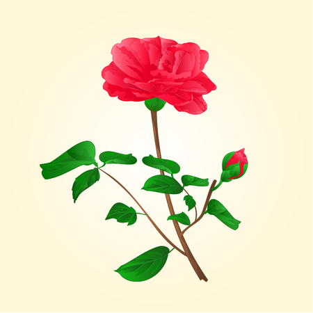 camellia: Flower Camellia Japonica with bud illustration