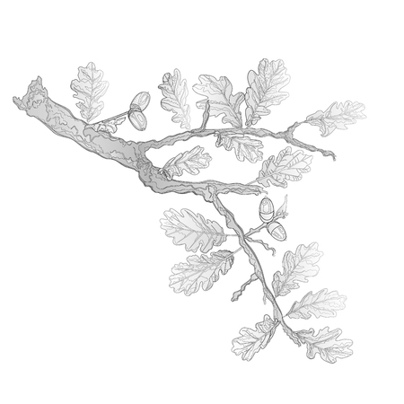 drawing trees: Oak leaves and acorns as vintage engraving nature illustration