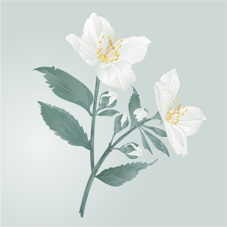 Twig jasmine flowers  with leaves  vector illustration  イラスト・ベクター素材