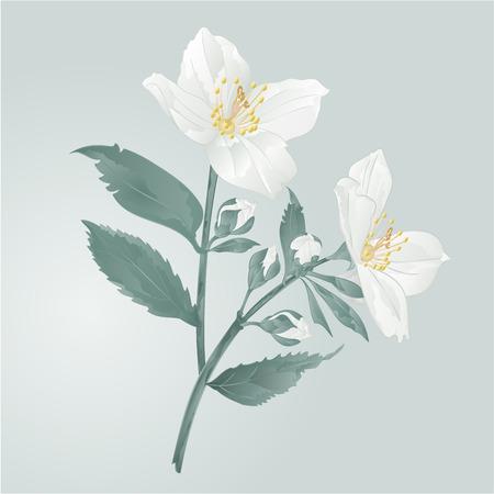 잎 벡터 일러스트와 함께 나뭇 가지 자스민 꽃 일러스트