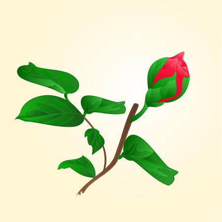 japonica: Flower Camellia Japonica Bud of vector illustration