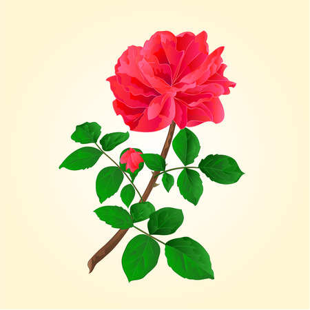 centifolia: Twig red rose  with leaves and bud vector illustration