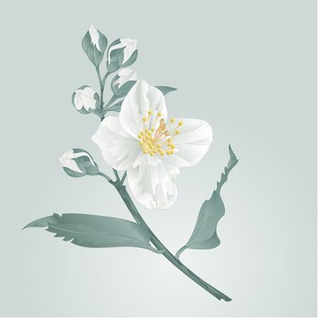 buds: Flower twig jasmine flower and buds vector illustration Illustration