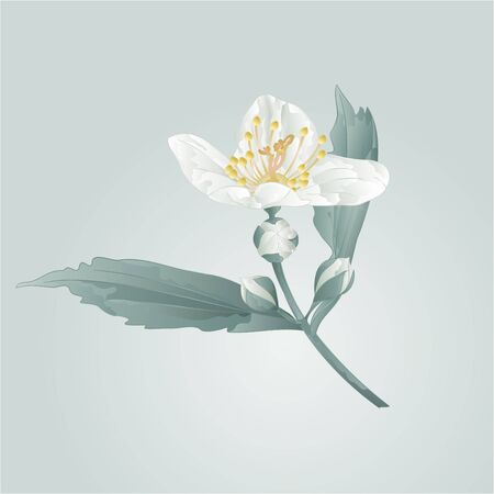 buds: Spring flower twig jasmine flower and buds illustration