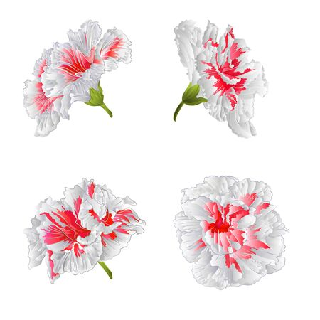 isolated flower: Tropical blossoms white hibiscus houseplant illustration