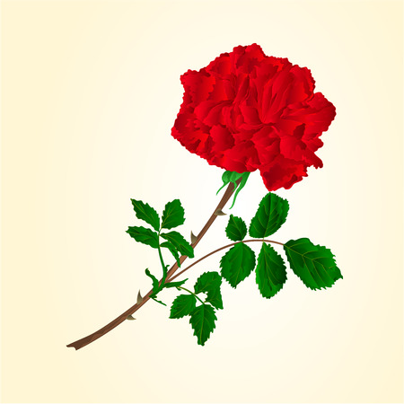 centifolia: Red rose stem with leaves and blossoms illustration Illustration
