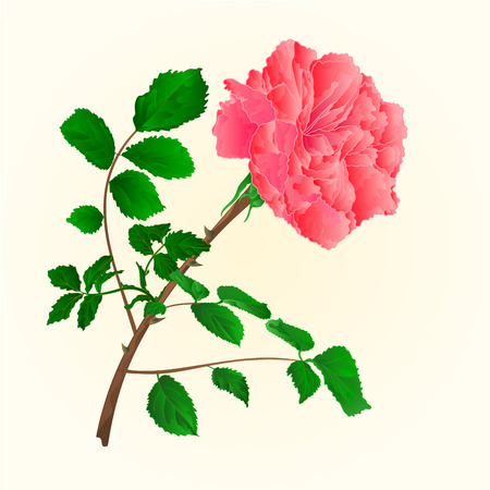 freshens: Rose pink blossoms stem with leaves vector illustration Illustration