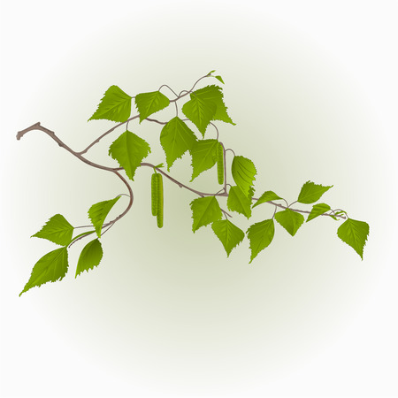a twig: Birch twig with catkins natural background illustration Illustration